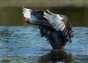 Black Swan Display (MyKeyC) Tags: swan black stretch peacefulwaters birds peacefulwaterssactuary