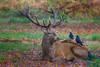 Red Deer - (Cervus elaphus) 'Z' for zoom (hunt.keith27) Tags: patch rump buff paler russetbrown dark territory branchingantlers moorland antler stag reddeer cervuselaphus anima animal
