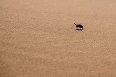 bug's life (rick.onorato) Tags: africa namibia namib desert sand dunes beetle