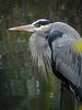 Fearless (ambrknr) Tags: ardea herodias crane heron bird water fowl waterfowl delta ponds eugene western oregon pacific northwest wetlands willamette valley wildlife