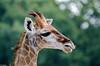 DSC_3317 (GL Showa) Tags: girafe planetesauvage zoo animaux