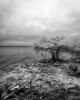 Cochina, clouds, and Mangrove (Ed Rosack) Tags: rock usa blackandwhite riverscape water ©edrosack panorama florida infrared river cloud landscape sky centralflorida bw mangrove tree rockledge cloudy ir