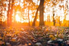 Autumn forest (icemanphotos) Tags: mood autumn light sunbeam dof bokeh warm
