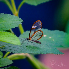 Wings of Glass (Arizphotodude) Tags: butterfly butterflywonderland butterflies arizona southamerica gretaoto nature macro wings clear flying beautiful insect