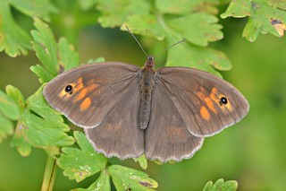 Meadow Brown (Maniola jurtina) ♀