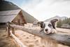 Hello (gbukalski) Tags: border collie cottage cute dog happiness joy mountains nature pet sheep sheepdog spring summer trick valley warm chocholowska eyes fur nice wood