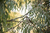 Noisy miner at Darebin Parklands, Melbourne, Australia (T J Garvie) Tags: noisyminer australianbird bird tree nature framing australianbush birdinatree