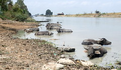 Kenh Vinh Te ride 021 (wurray17) Tags: canal buffalo vinhte tinh bien chau doc mekong delta