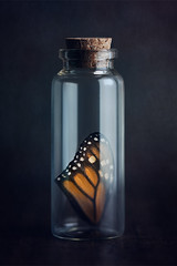 Fleeting (AJWeiss71) Tags: butterfly wing monarch insect bottle vial orange nature capture captured death dead container one stilllife glass science reflection fragile fragility dark darkness mood moody beauty beautiful trapped amyweiss