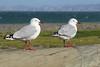 Gulls - Napier (Neil Pulling) Tags: newzealand nz hawkesbayregion hawkesbay napier pacificocean coast gull