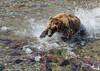 Sockeye in Sight (cheryl strahl) Tags: alaska grizzlybears brownbear sockeyesalmon salmon fishing creek katmainationalparkandpreserve claws catch redsalmon rocks shallow