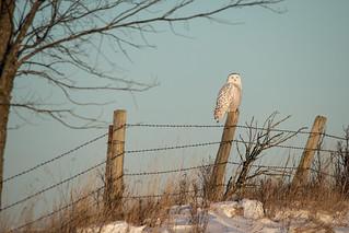Distant Snowy Owl