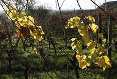 Deidesheim (dese) Tags: deidesheim germany november19 2017 november192017 2017 november vin vineyard tyskland vinograd vingard europa rheinlandpfalz pfalz rhinelandpalatinate deutschland allemagne europe haust