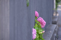 pink, green and grey (Hayashina) Tags: monteisola italy flower fence hff colours