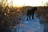 DSC04514 (mikael.kha248) Tags: dog doggy dogs dogwalking activedog walkingdog black blacklabrador blacklab blacklabr labrador labr labradorretriever lab blacklabradorretriever puppy labpuppy winterdog eveningwalk sunspotdog blackdog myblack jim dogas pet pets animal animals wintersolstice sunset sunspot sudown sun sunlight depthoffield landscape nature snow winter december 2017 december17 december2017 winter17 winter2017 alone bokeh selectivefocus ice