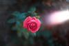 ILCE-7M2-06540-20171222-1701 // Meyer-Optik Gorlitz Oreston 50mm 1:1.8 (Otattemita) Tags: 50mmf18 florafauna görlitz meyeroptik meyeroptikgörlitzoreston50mmf18 oreston fauna flora flower nature plant wildlife meyeroptikgorlitzoreston50mm118 sony sonyilce7m2 ilce7m2 50mm cnaturalbnatural ota
