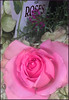 (Cliff Michaels) Tags: iphone06 photoshop flower rose pse9 kroger