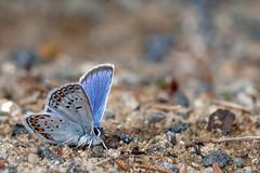 Silver Lining - _TNY_2033 (Calle Söderberg) Tags: macro canon canon5dmkii canonef100mmf28usmmacro canoneos5dmarkii flash meike mk300 glassdiffusor butterfly fjäril juvelvinge blåvinge silverblåvinge blue metallic furry fuzzy lycaenidae lycaeninae silverlining spots f95 5d2 leipidoptera