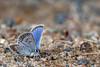 Silver Lining - _TNY_2033 (Calle Söderberg) Tags: macro canon canon5dmkii canonef100mmf28usmmacro canoneos5dmarkii flash meike mk300 glassdiffusor butterfly fjäril juvelvinge blåvinge silverblåvinge blue metallic furry fuzzy lycaenidae lycaeninae silverlining spots f95