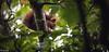 L'écureuil (N-Lock) Tags: nell photographe rueil malmaison rambouillet yvelines paris france écureuil roux rousse animal animalis animaux bete nlock canon 760d tamron 150mm 600mm sauvage arbre vert feuille noisette noix nature foret