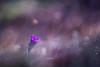 # Feu d'artifice # (Thomas Vanderheyden) Tags: anemonepulsatillal pulsatille anemone flore flora flowers fleurs nature ngc beautifulearth bokeh violet flare macro proxi thomasvanderheyden fujifilm