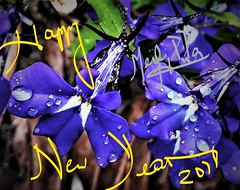 258. JANUARY 1, 2018: New Year Greetings Just For You! (Meili-PP Hua 2) Tags: macro rain raindrops droplets water dew waterdrops waterdroplets purple garden flowers floral flora blooms petals buds plants flowre pistils leaves plant bush shurb mlpphflora mlpphnature pink mauve crimson lilac photographypassionsxyz