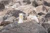 Galapagos Albatross with chick 500_3459.jpg (Mobile Lynn) Tags: albatross birds wavedalbatross wild nature bird diomedeairrorata diomedeidae fauna procellariiformes sea seabird seabirds wildlife puntasuarezespanolaisland galapagosislands ecuador ec