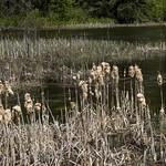 Cattails after winter, Waskesiu River, Prince Albert National Park thumbnail