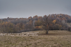 Sheep and Tree (Hattifnattar) Tags: cattle rural sheep pentax fa77mm limited