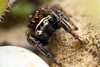 Pellenes tripunctatus ♂ (Jerome Picard) Tags: salticidae salticidé saltique salticide maineetloire mpe canon arthropoda araignéesauteuse jumpingspider