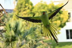 The flight of parrot (paul.porral) Tags: oiseau birds flickr ngc flight parrot perroquet