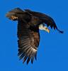 Bald Eagle (Circled Thrice) Tags: bird eagle baldeagle raptor birdofprey flight flying fly bif birdinflight wings winged barrlake statepark park wild wildlife nature natural brighton colorado co canon eos rebel t5i sigma