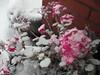 Tough flowers (bryanilona) Tags: flowers snow geraniums pot plant doostep dudley leaves fantasticflowers citrit
