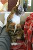 Gracie 24 November 2017 7144Ri 4x6 (edgarandron - Busy!) Tags: gracie patchedtabby cat cats kitty kitties tabby tabbies cute feline