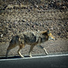 Wiley Coyote Strolling Down The Highway (Romair) Tags: coyote deathvalleyca rogerjohnson texturaltuesday
