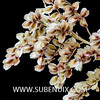 Nolina beldingii-5 (SUBENUIX) Tags: asparagaceae nolinabeldingii suculentas subenuix subenuixcom planta suculent suculenta botanic botanical