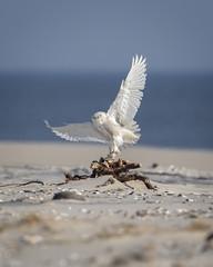 Sticking the Landing... (DTT67) Tags: snowyowl owl birds bif birdofprey arctic beach raptors wildlife nature nationalgeographic canon 1dxmkii 500mmii 2xtciii
