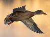 Mallard - Anas platyrhynchos (normanwest4tography) Tags: mallard flight avian wings flying canon7d2 sigma500f45 wildfowl cannoppond wildlife wild birds waterbirds wetlands countryside estuary estuaries marshes marshland nature coastalbirds forestofdean