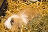 Weihnachten 04 (akumaohz) Tags: nikon d3200 deutschland germany niedersachsen tier tiere kaninchen rabbit bunny braun brown haustier pet