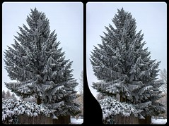 Frozen fir tree 3-D / CrossEye / Stereoscopy / HDR / Raw (Stereotron) Tags: saxony sachsen vogtland reichenbach fir tree snow freeze winter frost tanne nadelbaum quietearth europe germany forbriger crosseye crosseyed crossview xview cross eye pair freeview sidebyside sbs kreuzblick 3d 3dphoto 3dstereo 3rddimension spatial stereo stereo3d stereophoto stereophotography stereoscopic stereoscopy stereotron threedimensional stereoview stereophotomaker stereophotograph 3dpicture 3dglasses 3dimage hyperstereo canon eos 550d chacha singlelens kitlens 1855mm tonemapping hdr hdri raw 3dframe fancyframe floatingwindow spatialframe stereowindow window