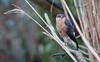 Sperwer - Eurasian Sparrowhawk - Accipiter nisus -2182 (Theo Locher) Tags: eurasiansparrowhawk sperwer sperber epervierdeurope accipiternisus birds vogels vogel oiseaux netherlands nederland copyrighttheolocher
