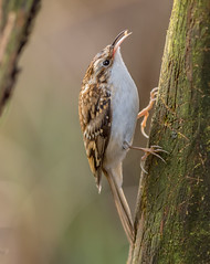 JWL8086  Treecreeper... (jefflack Wildlife&Nature) Tags: treecreeper birds avian animal animals wildlife wildbirds wetlands woodlands farmland forest trees hedgerows creepers countryside nature songbirds