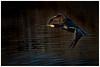 Flying Cormorant. (vegetus aer) Tags: woodwaltonfen greatfen greatfenproject wildlifetrust bcnwildlifetrust nnr cambridgeshire cormorant sony rx10m3