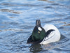 Drake Goldeneye displaying (parcman) Tags: goldeneye