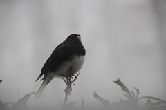 Winter Junco (beckybarnett303) Tags: winter junco bird wildlife newyork nys newyorknature nature birding snow storm sl1 canon canonsl1 sigma