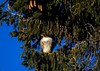 Red-Tailed Hawk on Douglas Fir (jerrygabby1) Tags: douglas fir cones blue sky hawk redtailed perched