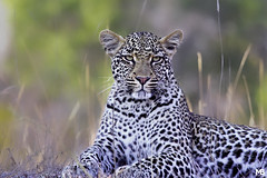 Leopardo (Mario Barbieri Photography) Tags: 2009 canonef100400mmf4556lisusm canoneos50d krugersabisandreserve leopardo sudafrica thebestofthebest thebestof krugerpark mpumalanga za
