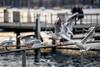 More seagulls: Escaping (3/3) (jaeschol) Tags: europa kontinent möve möwe schweiz suisse switzerland tier vogel gull