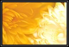 """Floral Face Off..."" -- MACRO MONDAYS - 8.1.18 - ""Double Exposure"" (NikonShutterBug1) Tags: macro closeup nikond7100 macromondays spe smartphotoeditor tamron60mmmacro blackandwhite doubleexposure"