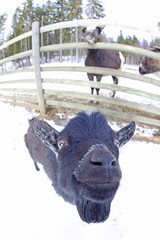 Happy Goat (CoolMcFlash) Tags: snow winter animal face goat canon eos 60d sigma 10mm fisheye portrait funny fun schnee tier gesicht head kopf ziege baby fischauge lustig fotografie photography smile lachen eyes augen natur nature